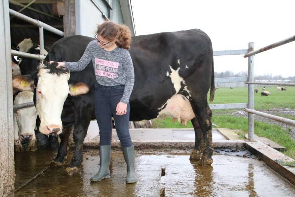 Melk koe lindsey
